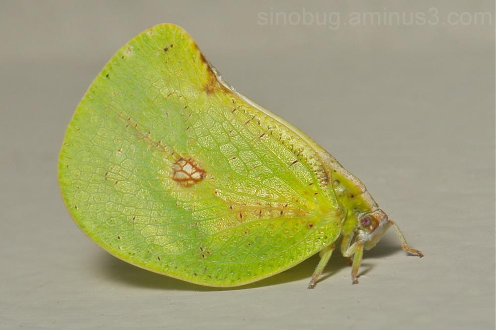 Flatid Planthopper Flatidae Yunnan China