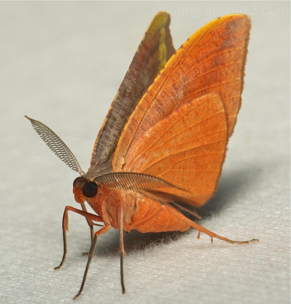 Hooktip Moth Drepanidae Yunnan China