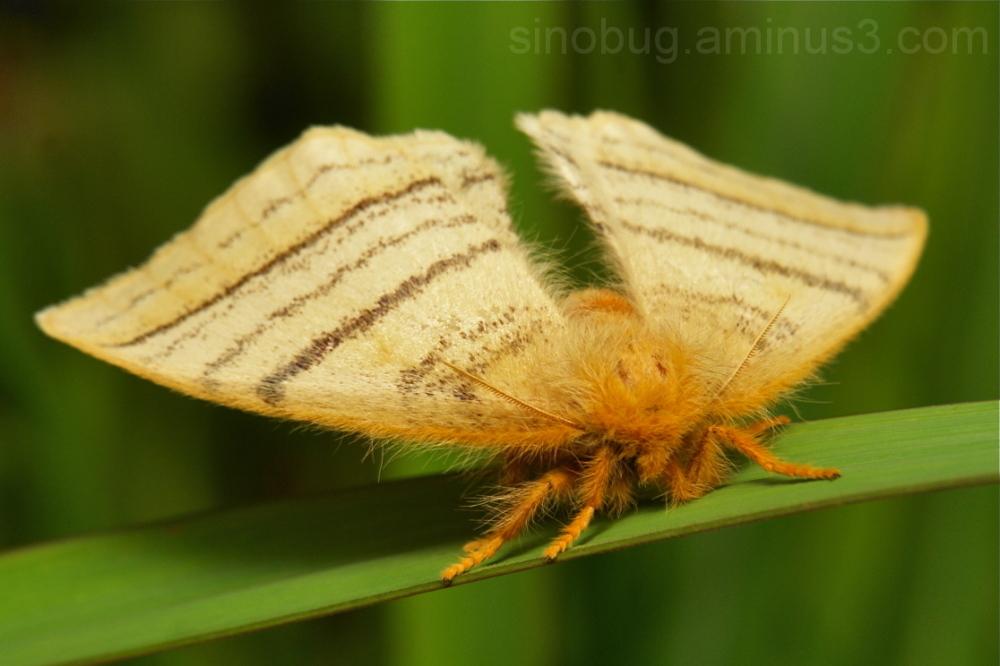 Monkey Moth Eupterote  Eupterotidae China