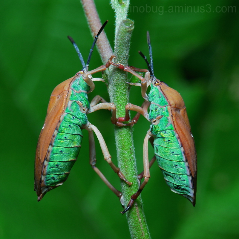 Shield Bugs Tessaratomidae stink giant China