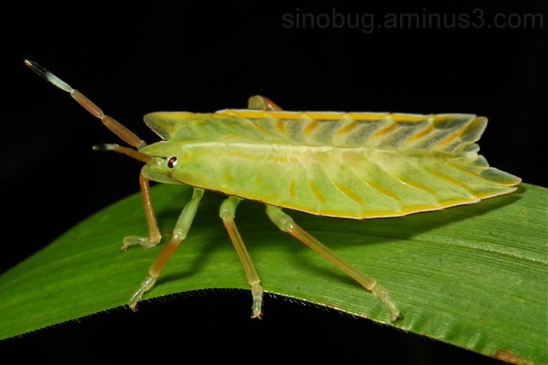 Shield Bug Nymph Tessaratomidae giant stink China