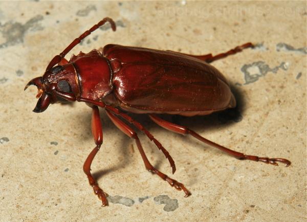 Longhorn Beetle Dorysthenes Cerambycidae China