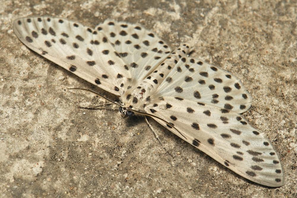 Geometridae Moth Antipercnia belluaria Ennominae