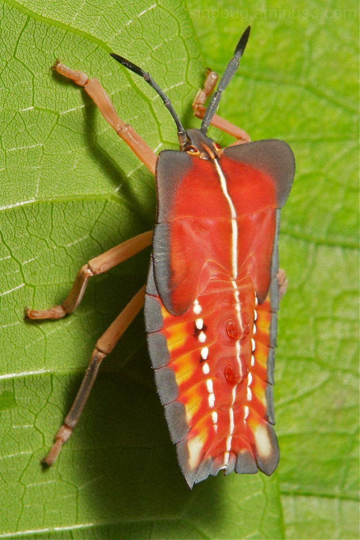 Lychee Stink Tessaratoma papillosa Tessaratomidae