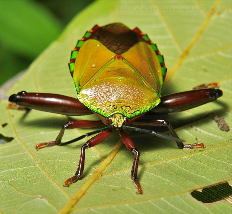 Giant Shield Bug Eusthenes Tessaratomidae China