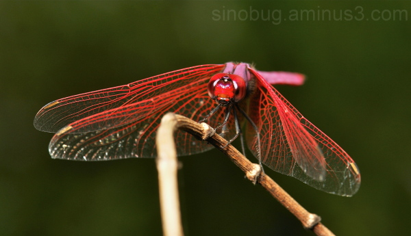 Crimson Marsh Glider Trithemis aurora China