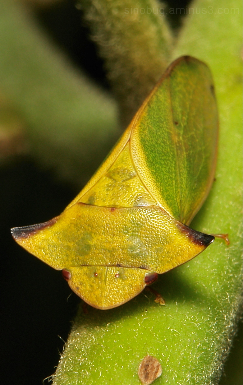 Flat-headed Leafhopper Tituria Ledrinae China