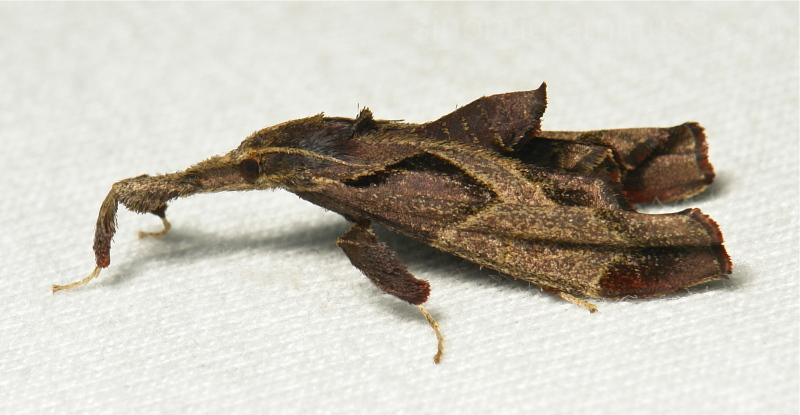 Snout Moth Sacada Pyralidae Yunnan China