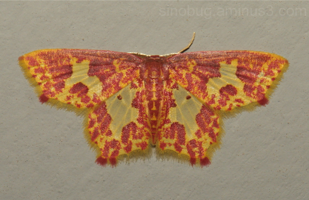 Geometridae Moth Chrysocraspeda Sterrhinae