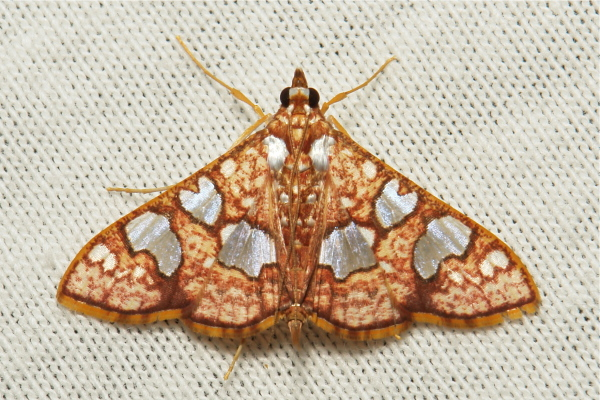 Crambidae Moth Glyphodes canthusalis Spilomelinae
