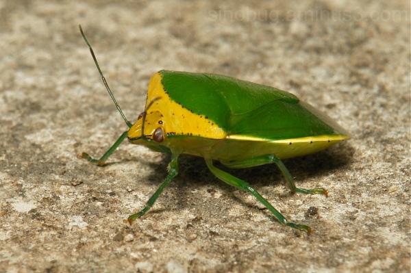 Shield Bug Pentatomidae Nezara viridula