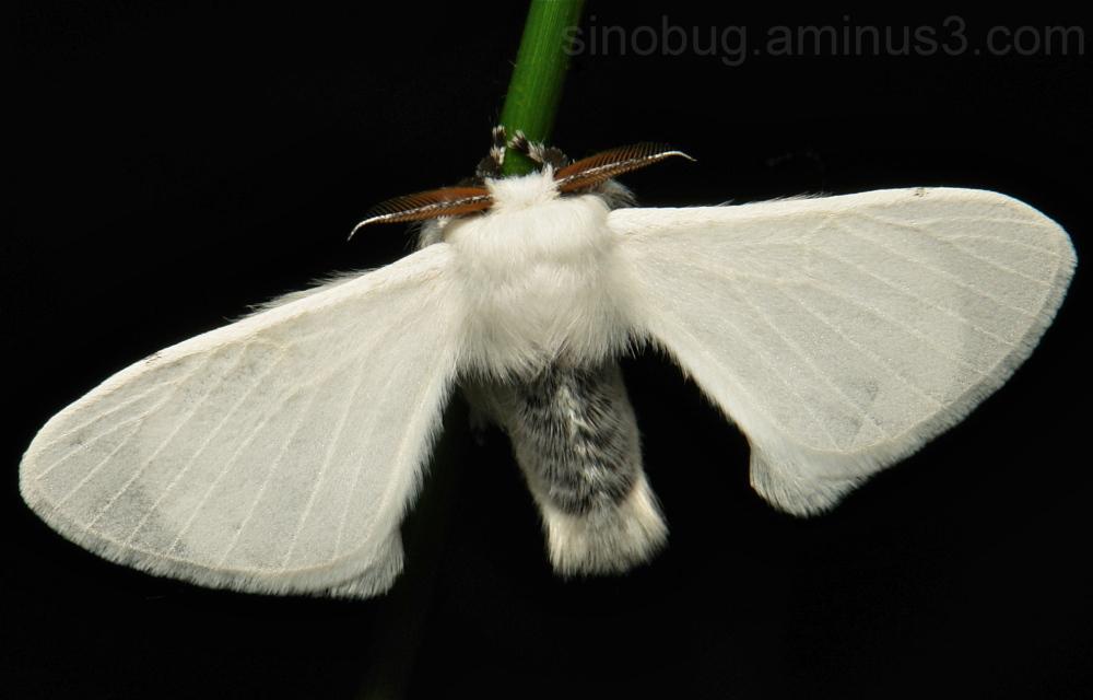 Silk Moth Bombycidae Yunnan China
