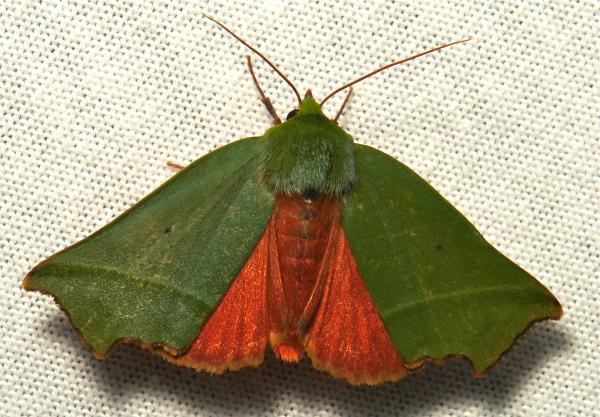 Moth Clethrophora distincta Nolidae China