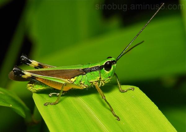 Grasshopper Oxya Oxyinae Acrididae China