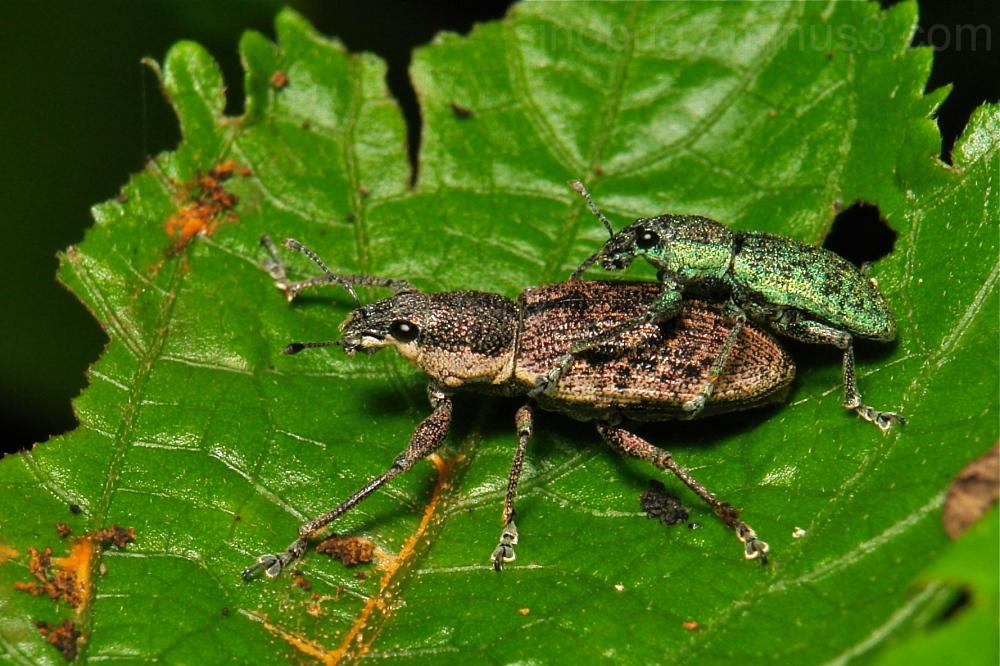 weevil beetle Curculionidae Coleoptera China