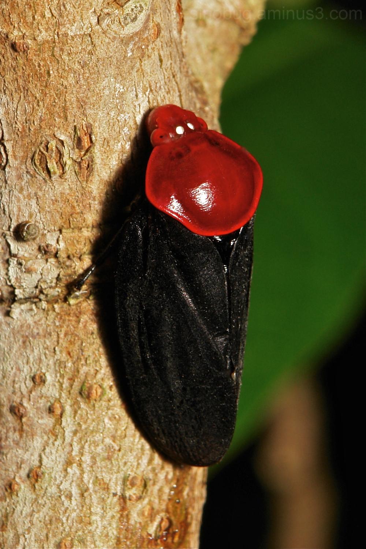 Froghopper (Cercopidae)