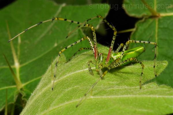 Green Lynx Spider Peucetia latikae Oxyopidae