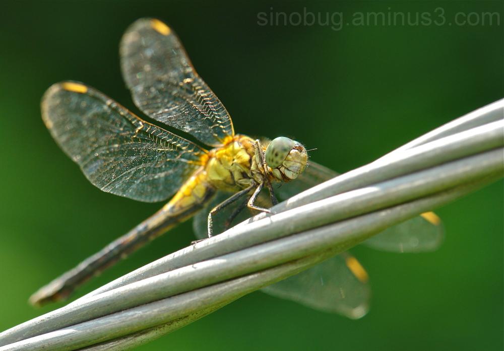 dragonfly Odonata China