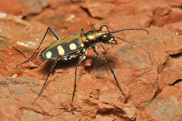 Tiger Beetle Cosmodela Cicindelinae aurulenta