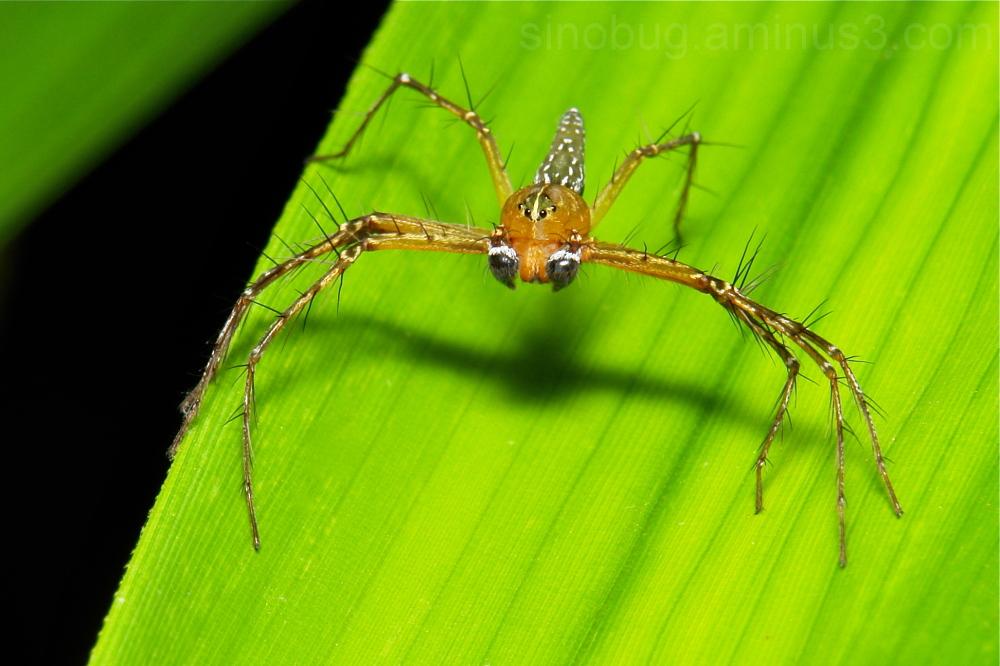 Lynx Spider Hamadruas Oxyopidae China