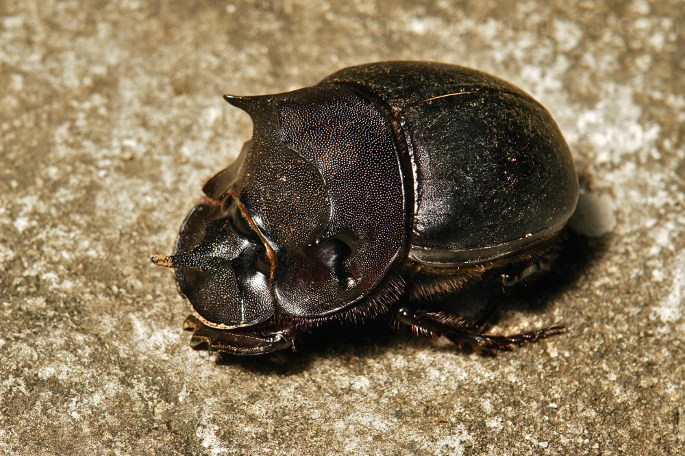 Dung Beetle Catharsius molossus Scarabaeinae