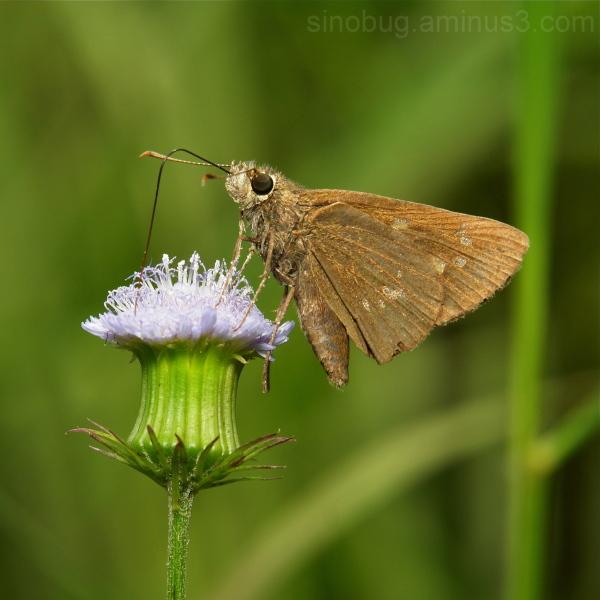 Common Straight Swift Parnara guttata Hesperiidae