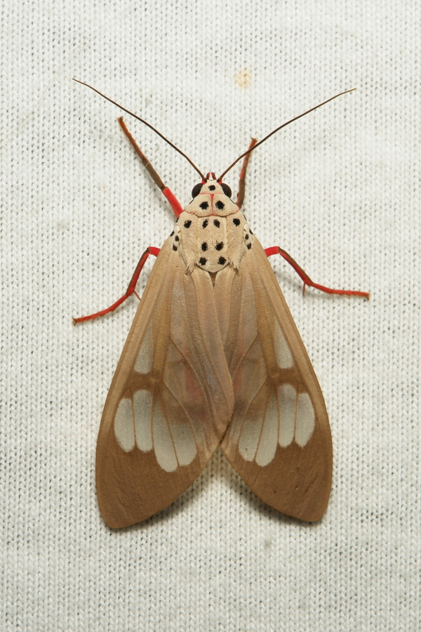 Tiger Moth Amerila astrea Arctiinae Erebidae