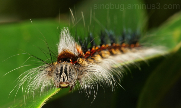 Lasiocampidae Moth Caterpillar China macro