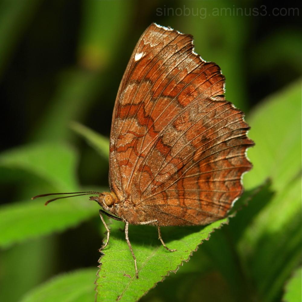 Angled Castor Ariadne ariadne Nymphalidae