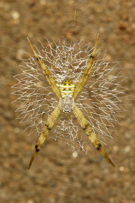 Writing Spider Argiope Araneidae China
