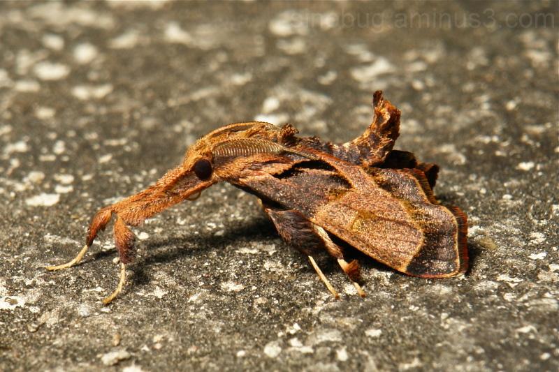 Snout Moth Sacada Pyralidae China