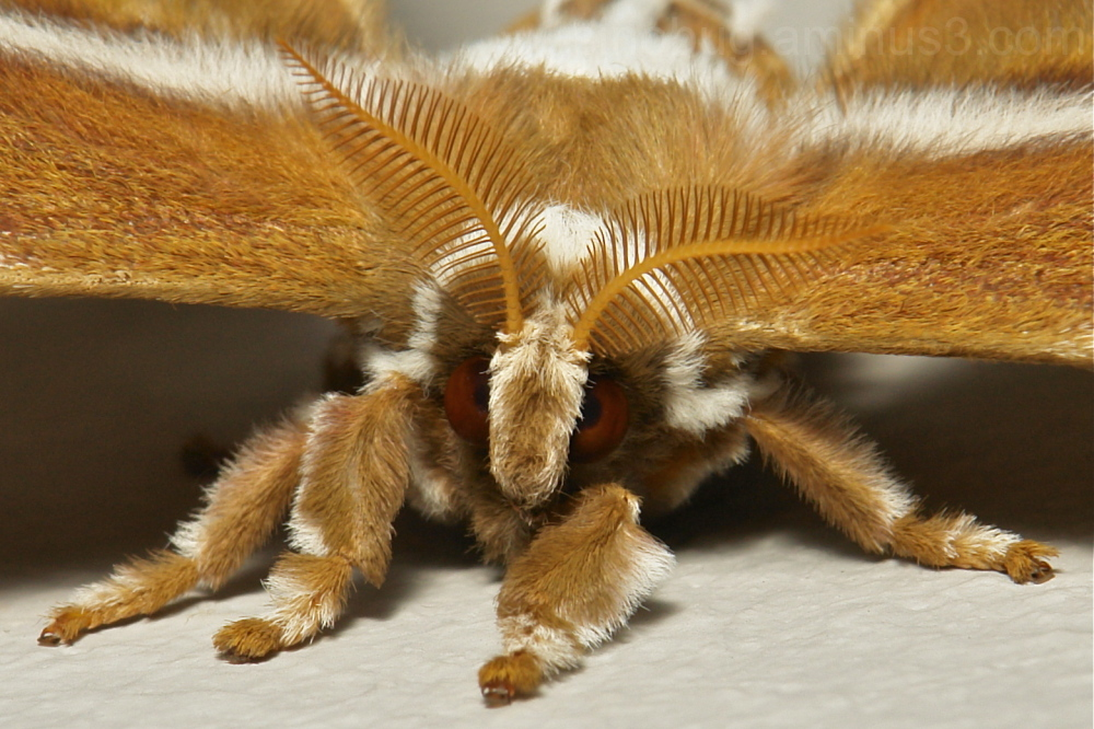 Lesser Atlas Moth Samia wangi, Saturniinae