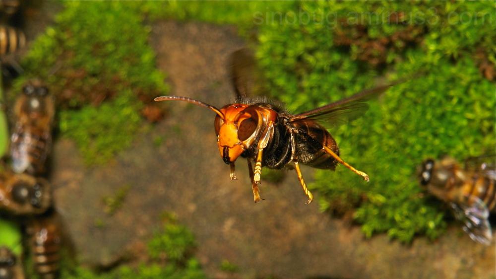 Asian Predatory Wasp Vespa velutina Vespidae