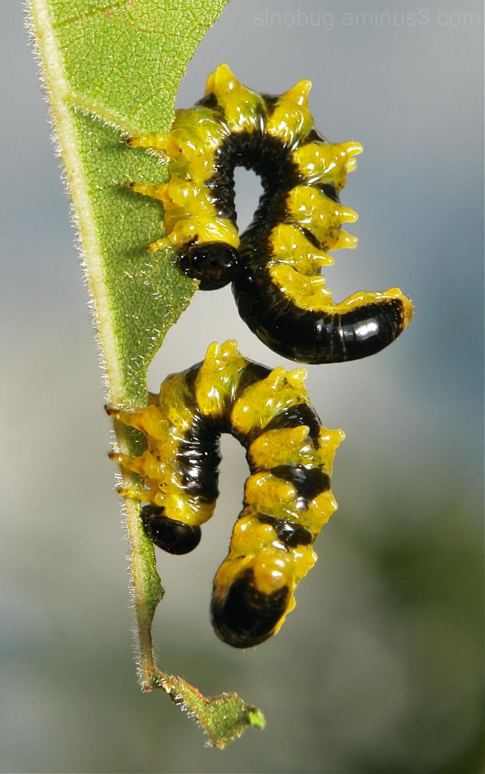 Sawfly Larvae Hymenoptera China