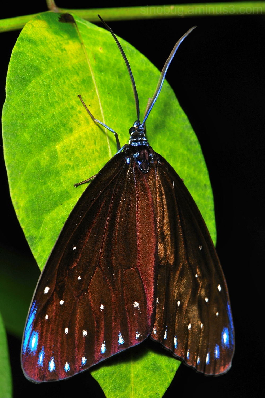 Day-Flying Moth Cyclosia midamia Zygaenidae