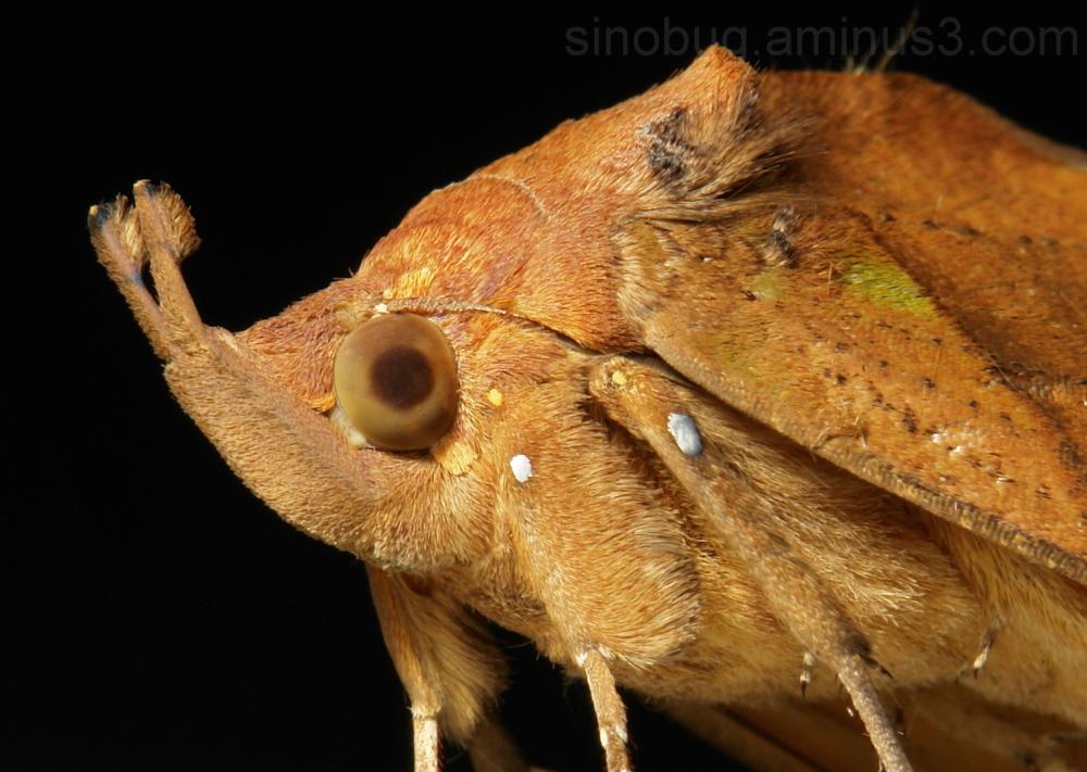 Fruit-sucking Moth Eudocima tyrannus Catocalinae