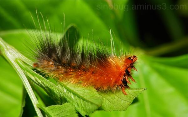 moth caterpillar Lepidoptera China