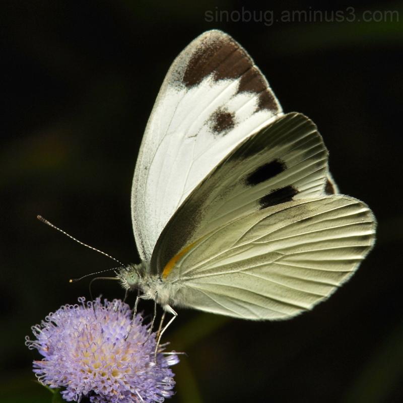Asian Cabbage White Pieris canidia Pieridae
