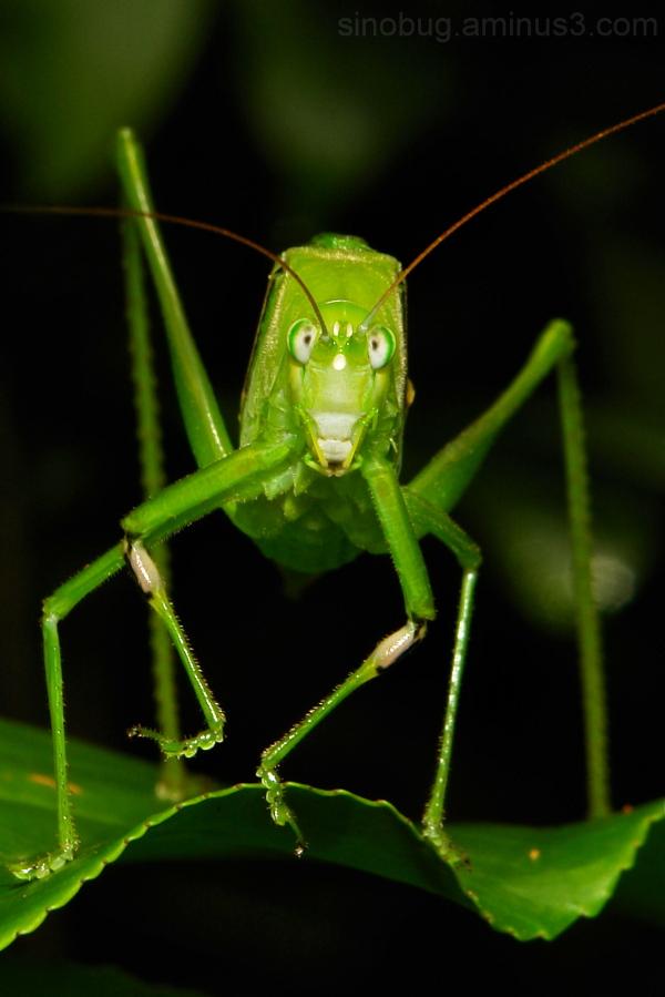 katydid bush cricket Phaneropteridae Orthoptera