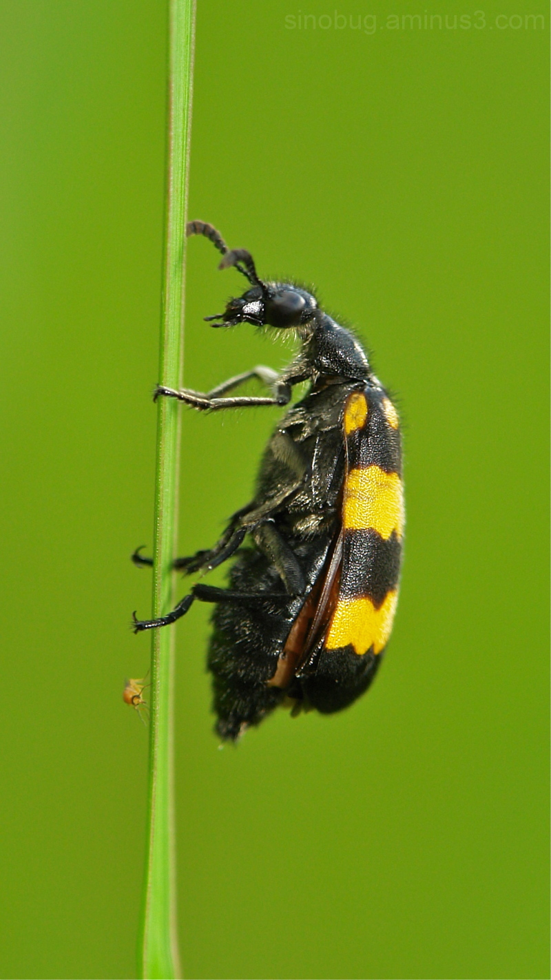 Blister Beetle Mylabris bistillata Meloidae China
