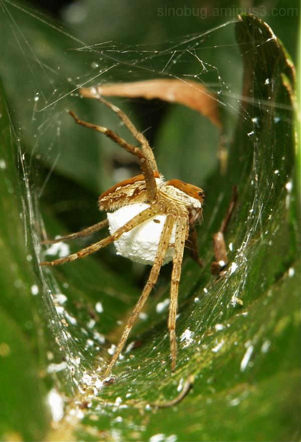 nursery web spider Pisauridae China egg sac