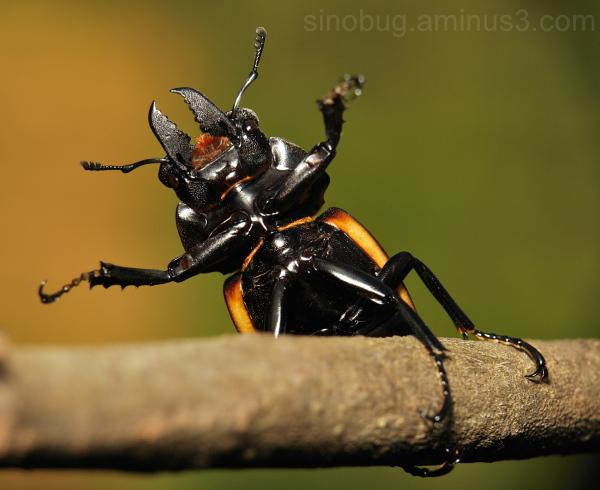 Stag Beetle Neolucanus Lucanidae China