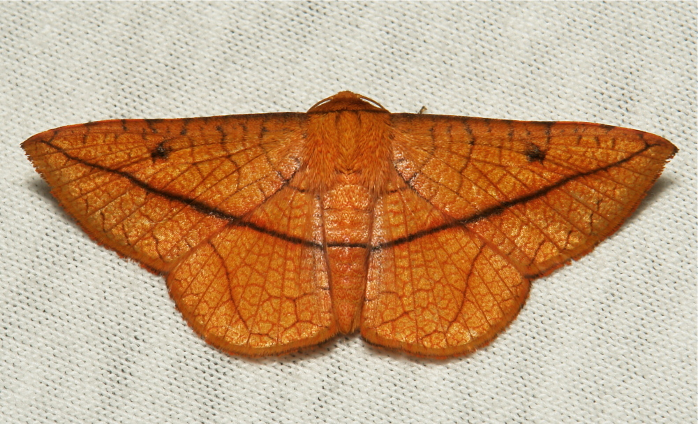 Daincha Leaf Webber