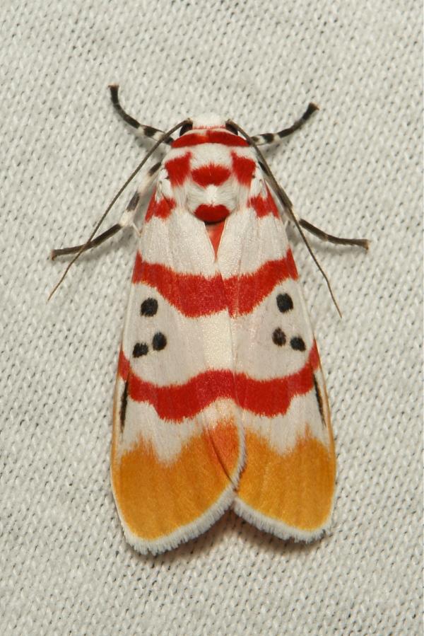 Moth Cyana bellissima Lithosiini Arctiinae China