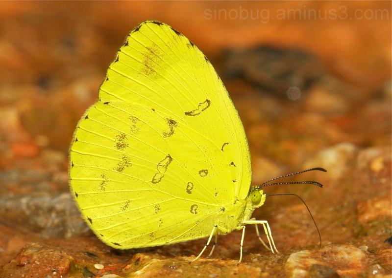 Common Grass Yellow Eurema hecabe Pieridae