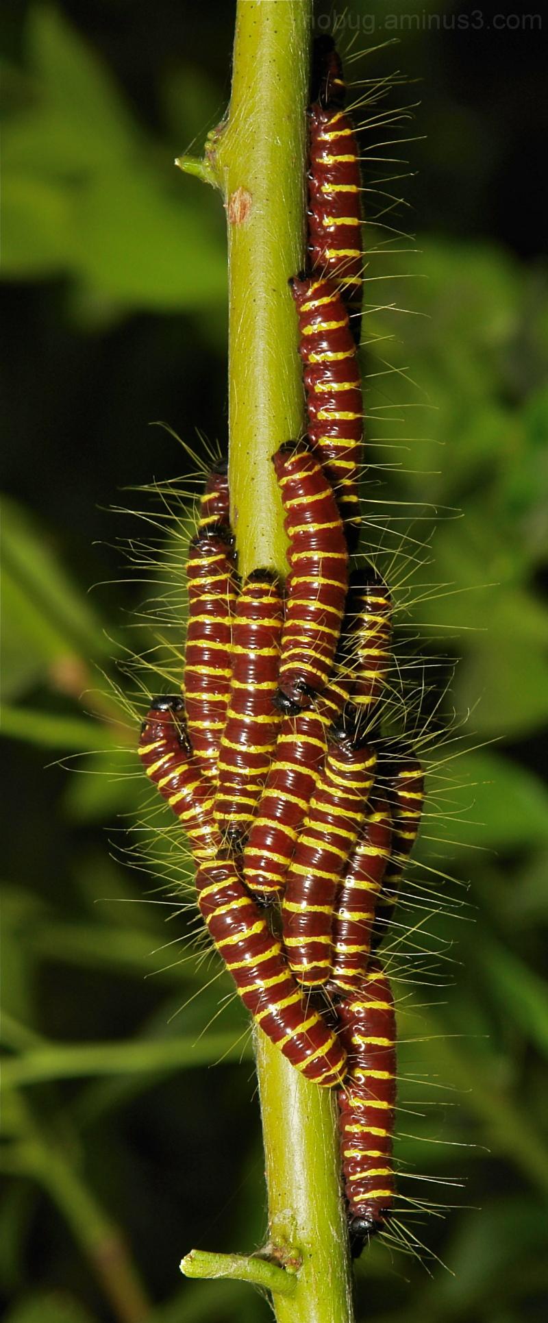 Redbase Jezebel Delias pasithoe Pieridae larva