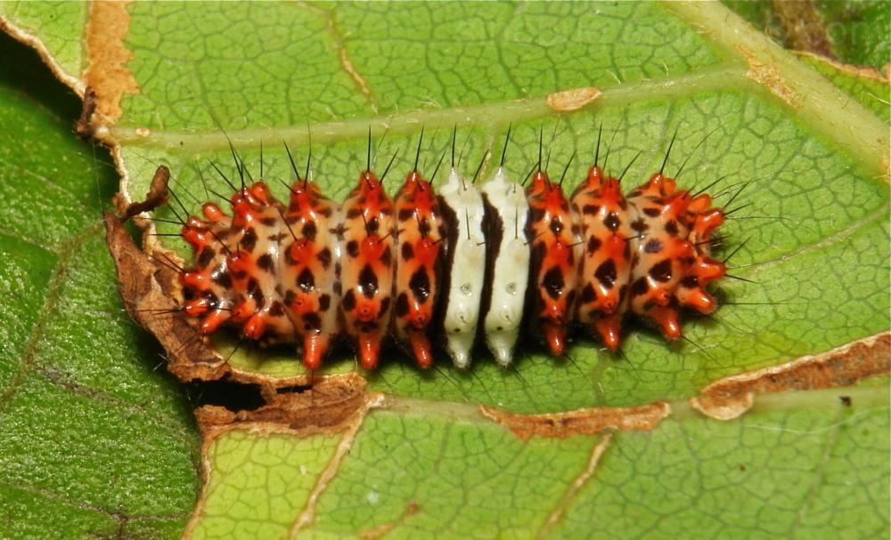 Chalcosiinae Moth Caterpillar Zygaenidae China