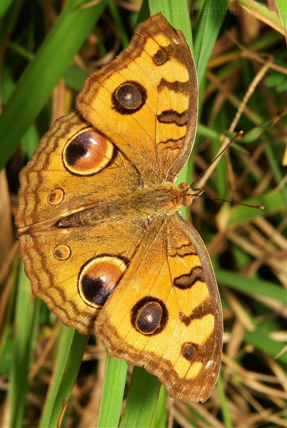 Peacock Pansy (Junonia almana, Nymphalidae)