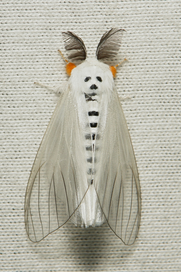 Clearwing Tussock Moth Lymantriinae Erebidae China