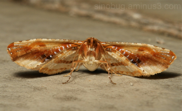 Picture Wing Leaf Moth Thyrididae China